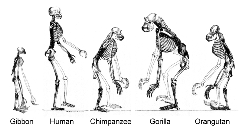 skeletons of great apes, image from Wikimedia (public domain, free to use)